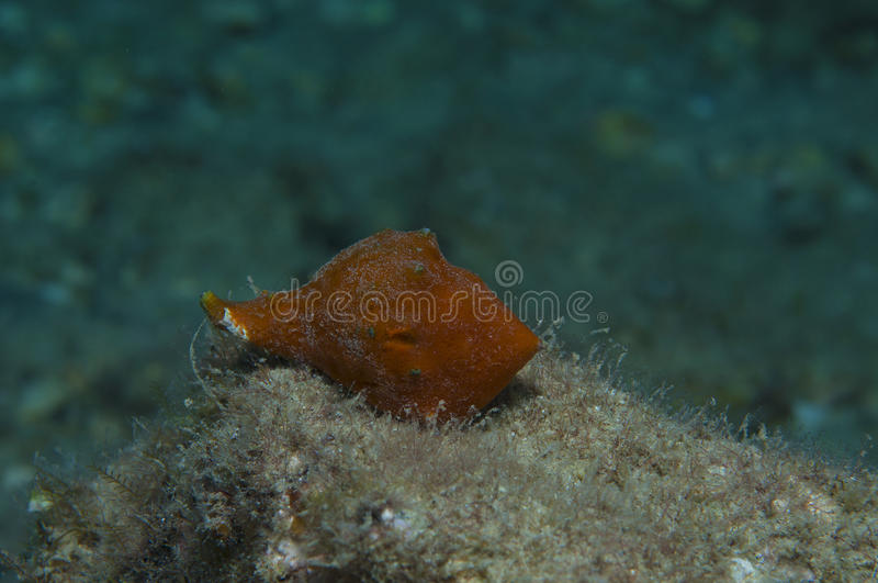 Orange shell. In search of food stock photography