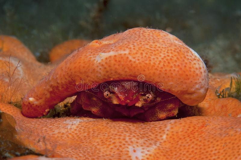 Orange shell. In search of food stock photo