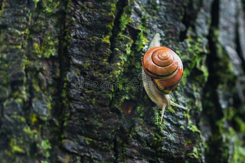 Orange shell snail on a tree. Orange shell snail going down on a tree royalty free stock images