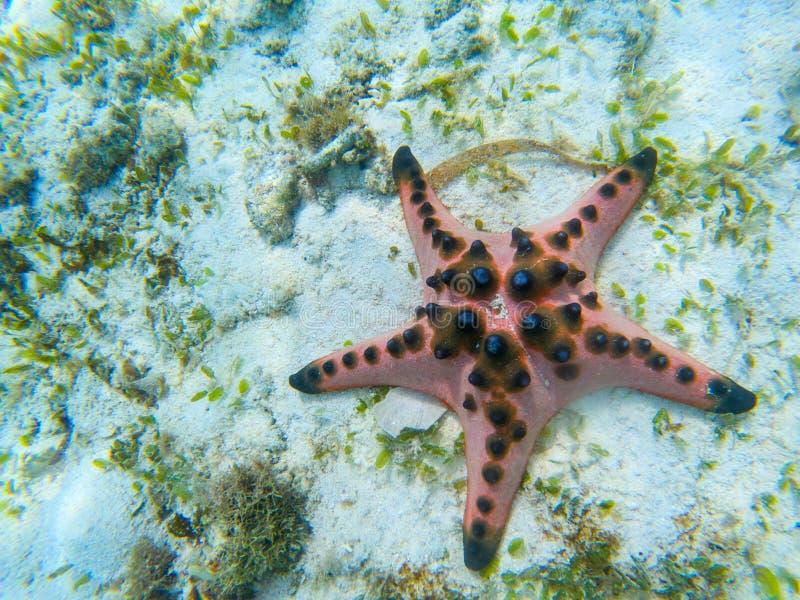 Orange sjöstjärnacloseup på sandig havsbotten Undervattens- foto av stjärnafisken i tropisk kust exotisk ? f?r strand royaltyfri fotografi