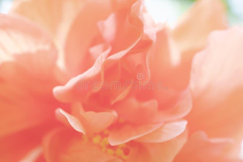 Orange skoblomma eller kinesisk ros med solljus arkivfoto