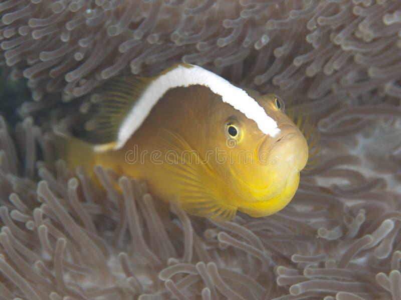 Orange skunk clownfish stock image
