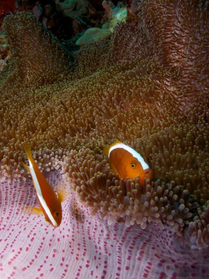 Orange skunk clownfish 01. Orange skunk clownfish sheltering in a Mertens' carpet sea anemone, Menjangan Island, Bali royalty free stock images