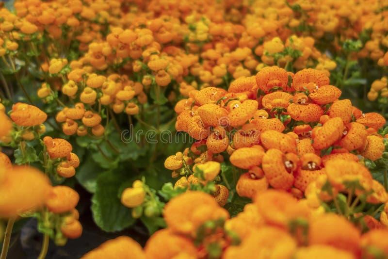 Orange slipper flowers. Full frame orange slipper flowers closeup royalty free stock images