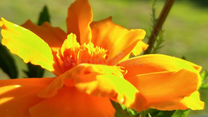 Orange sommarblomma royaltyfria bilder