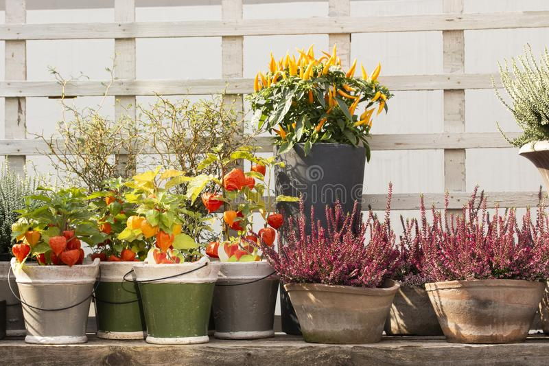 Orange spelife physalis fruits and heather in clay pots, yellow small fresh jalapeno peppers royalty free stock image