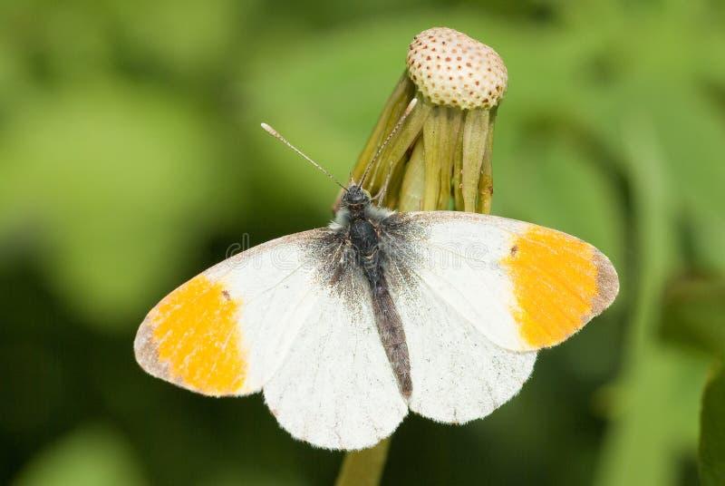 orange spets för fjäril royaltyfri foto