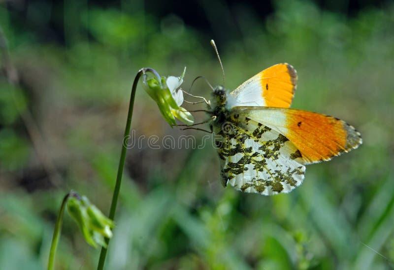 Orange spetsfjäril fjäril på en solig äng Vårfjärilar ljusa genomskinliga vingar Kopieringsutrymmen royaltyfri bild
