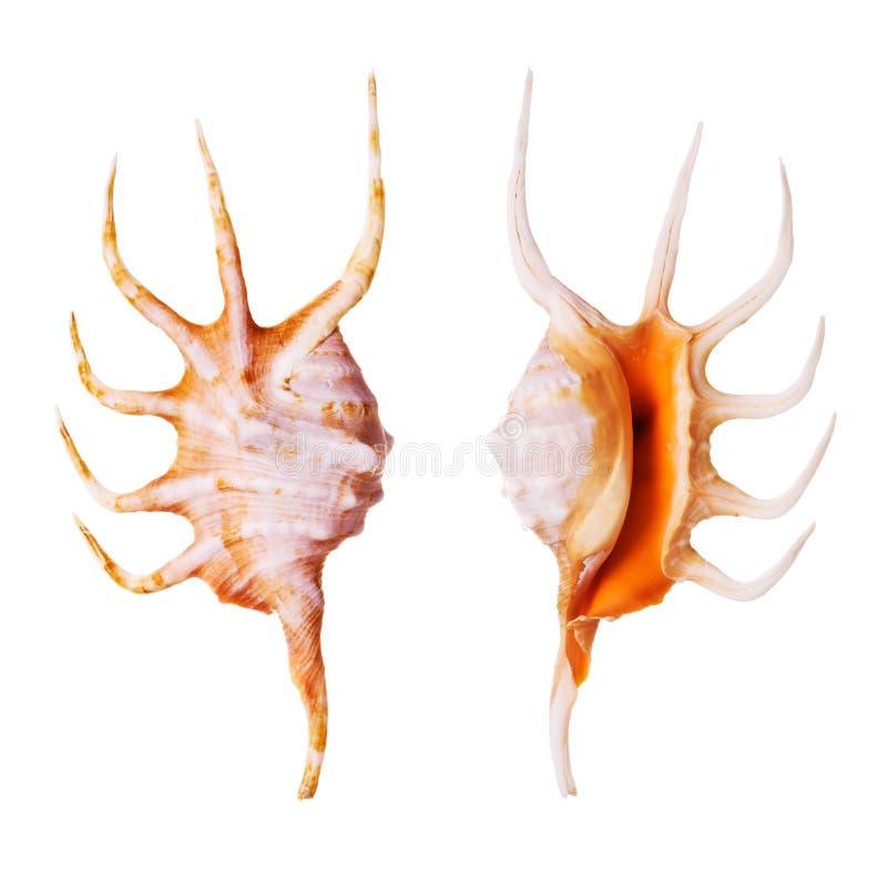 Orange Spider Conch stock photo