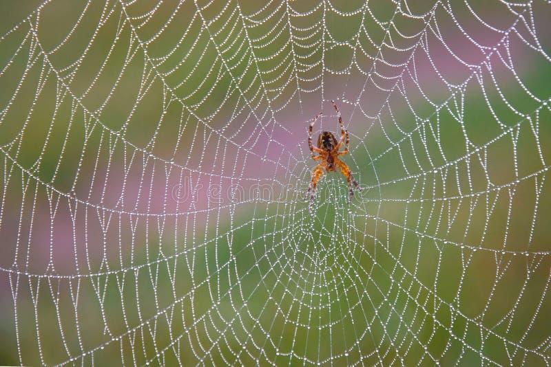Orange spindel i rengöringsduken i morgonen med droppar av genomskinlig dagg på den royaltyfria bilder
