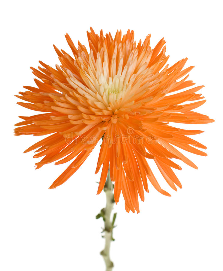 Orange Spinnen-Mama lizenzfreie stockbilder