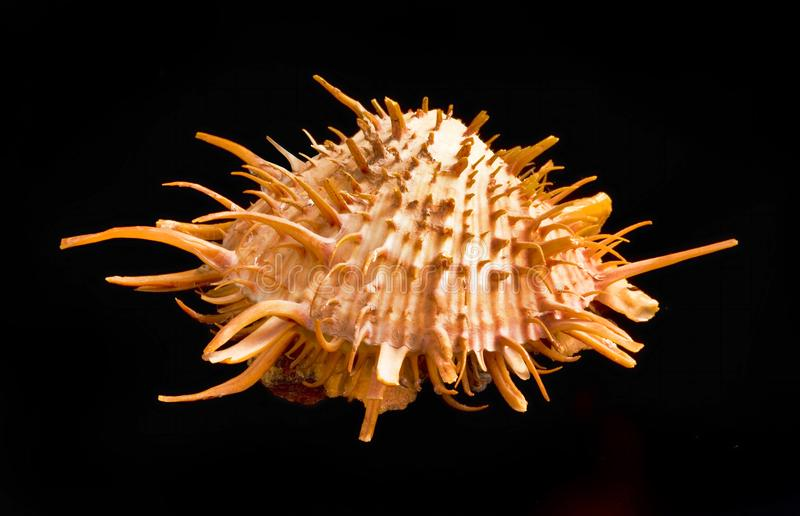 Orange Spiny Oyster Shell. Orange spiny oyster shell found in the warm waters of the Sea of Cortez stock image