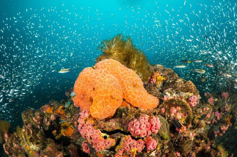 Orange sponge and pink corals. Orange sponge and pink coral reef surrounded by small glass fish at the Yongala Shipwreck, Australia stock image