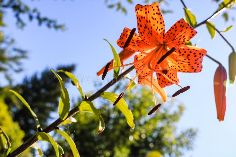 Orange spotted lily Tiger lily with green flower buds in the garden on a sunny day royalty free stock images