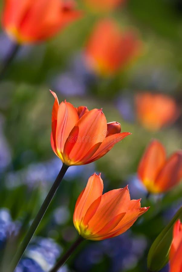Orange spring tulips in bloom royalty free stock photo