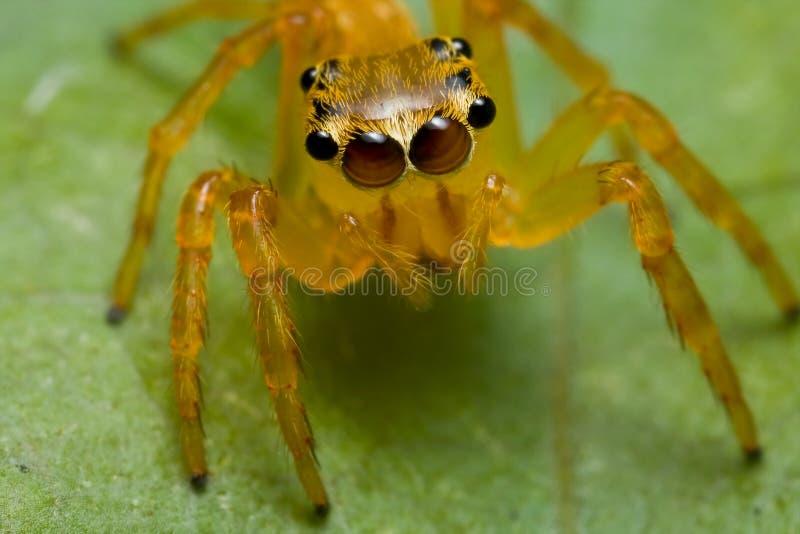 Orange springende Spinne stockfotos
