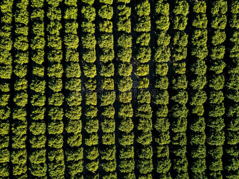 Orange Squeeze - Orange Trees Packed into a Dense Grove. Aerial straight-down view of orange trees packed into a dense grove. Richgrove, California, USA stock photography