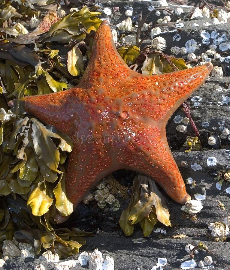 Orange Starfish lizenzfreies stockfoto