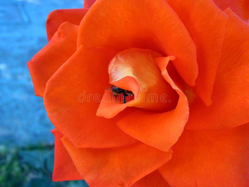 Orange stieg stockfoto