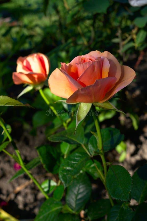 Orange stieg in einen Garten stockbilder