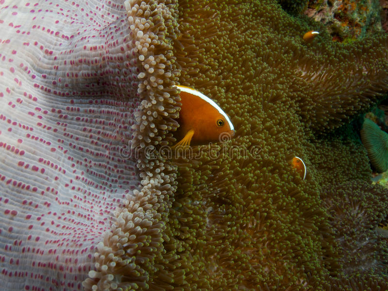 Orange Stinktier clownfish 02 stockfotos