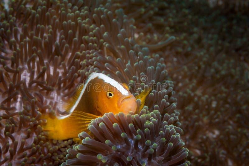 Orange Stinktier clownfish lizenzfreies stockfoto