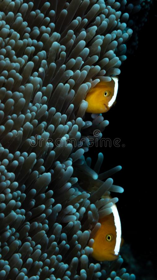 Orange Stinktier clownfish, Amphiprion sandaracinos Bangka, Indonesien lizenzfreies stockfoto