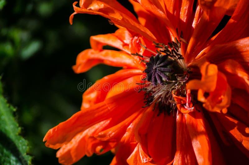 Orange stor lös vallmoblomma i Maj Härlig närbild för vårblommakronblad royaltyfri fotografi
