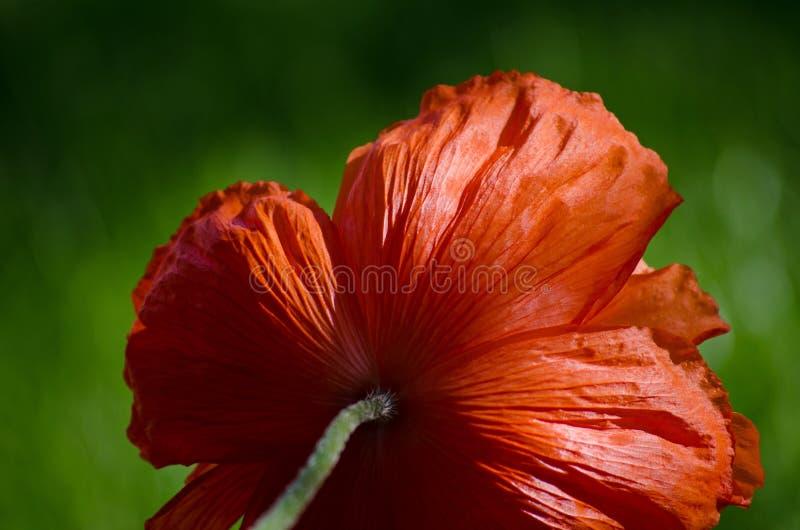 Orange stor lös vallmoblomma i Maj Härlig närbild för vårblommakronblad fotografering för bildbyråer