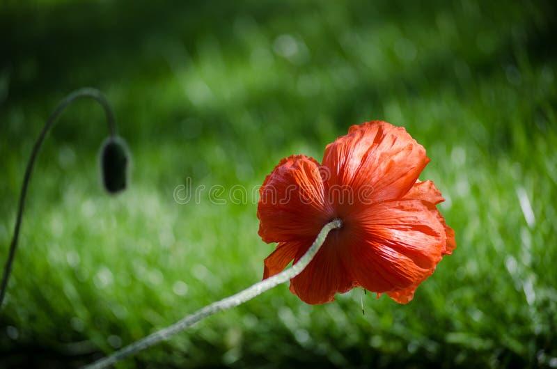 Orange stor lös vallmoblomma som bakifrån ses med enorm bokeheffekt på bakgrundsgräs Härliga kronblad för vårvallmoblomma arkivbild