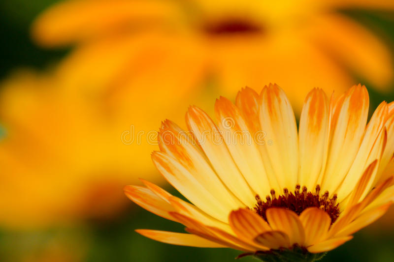 Orange straight petaled marigold flower right front with copy space. Closeup of a straight petaled orange marigold with other ones out of focus in background royalty free stock images