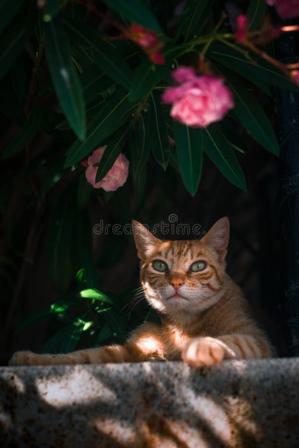 Orange Street Cat in Cala Sant Vicenc, Mallorca, Spain royalty free stock images