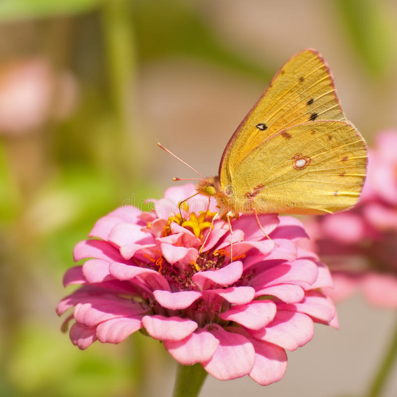 Free Orange Sulphur Butterfly Royalty Free Stock Photography - 26755297