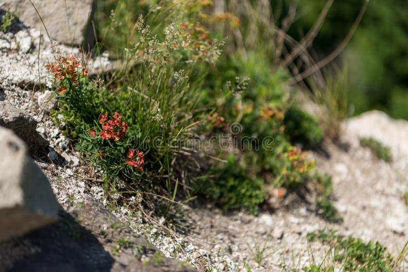Orange sunrose stockfotos