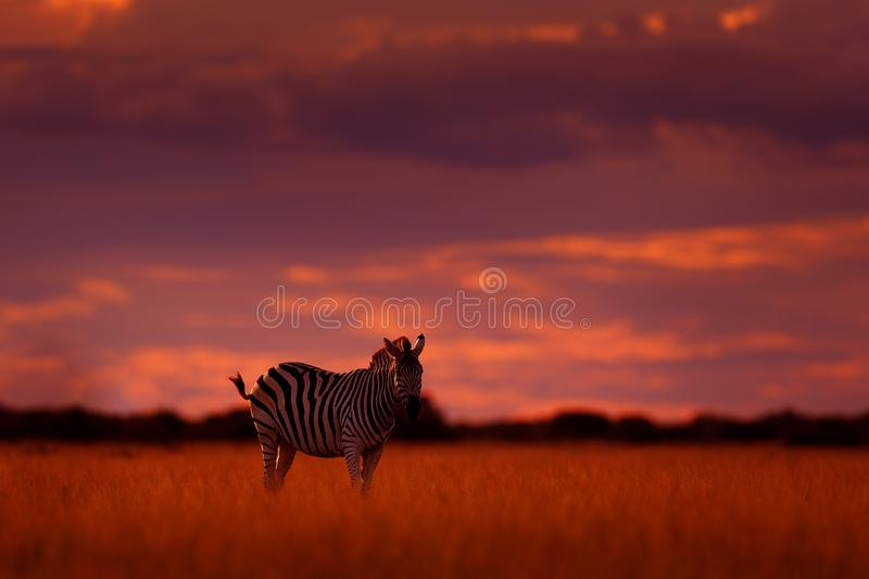 Orange sunset with zebra. Wild animal on the green meadow during sunset. Wildlife nature, beautiful evening light. Zebra with blue stock image
