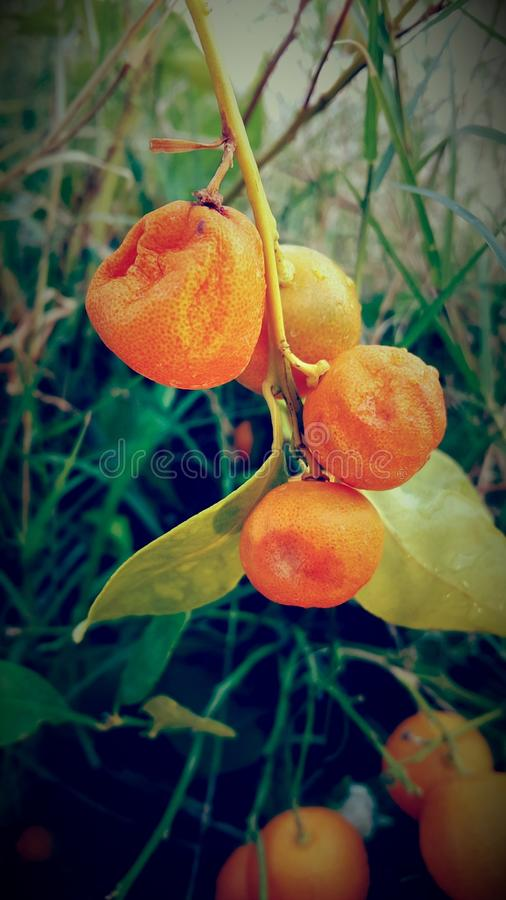 Orange in the sunshine day royalty free stock images