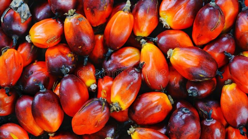Orange svarta palmoljefrön från gården royaltyfri foto