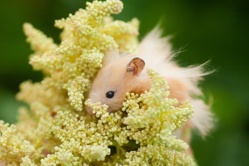 Orange syrian hamster in the garden in the spring royalty free stock photo