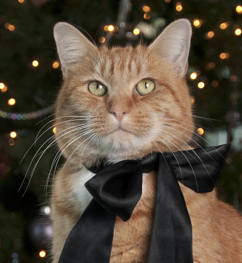 Orange Tabby Cat. Portrait with a black satin bow sitting in front of the Christmas Tree royalty free stock image