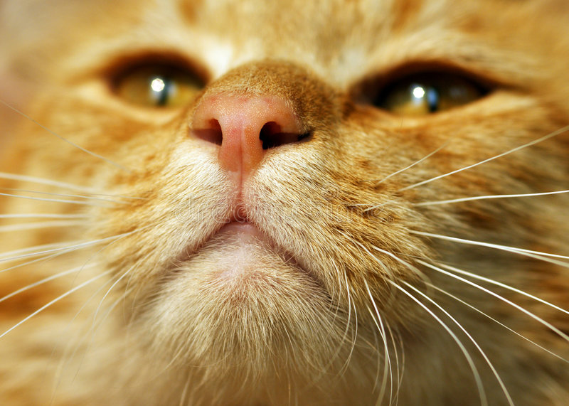 Orange Tabby Cat. Close-up of an orange tabby cat face