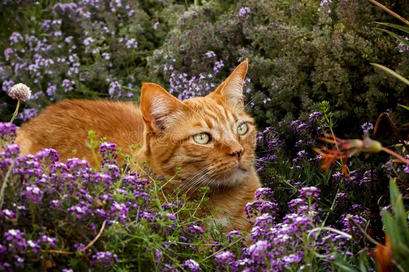 Orange tabby cat in a patch of purple flowers. Orange tabby cat crouching in a patch of purple sweet alyssum and thyme flowers in a garden stock photography
