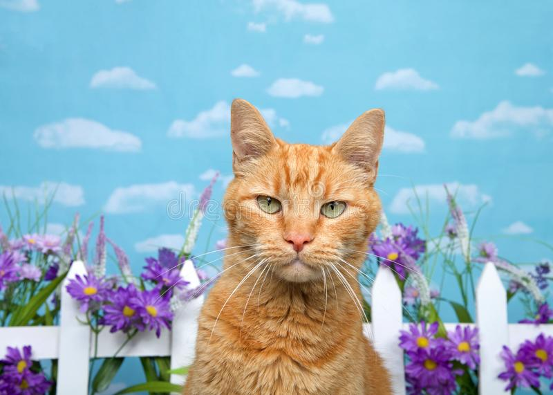 Orange tabby cat glaring at viewer, backyard fence with flowers stock photography