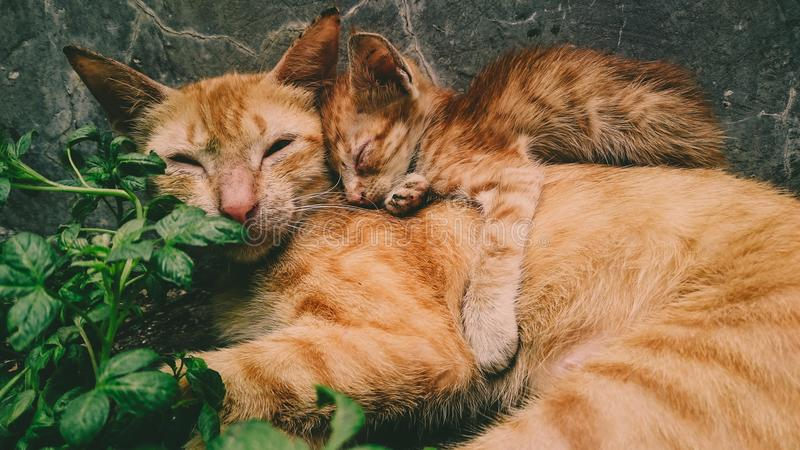 Orange Tabby Cat and Kitten royalty free stock image