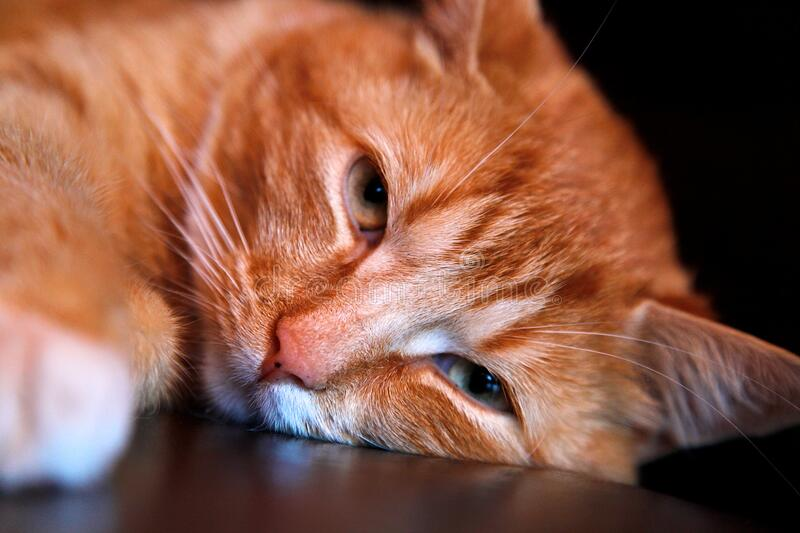 Orange Tabby Cat Leaning Head on Brown Surface royalty free stock photos