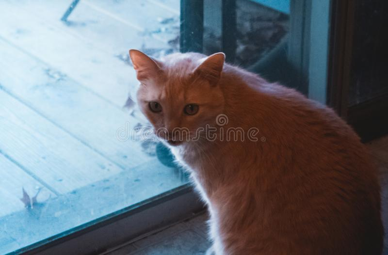 Orange Tabby Cat by Patio Door. Orange Tabby cat sitting by patio door with teal and orange color grade royalty free stock photo