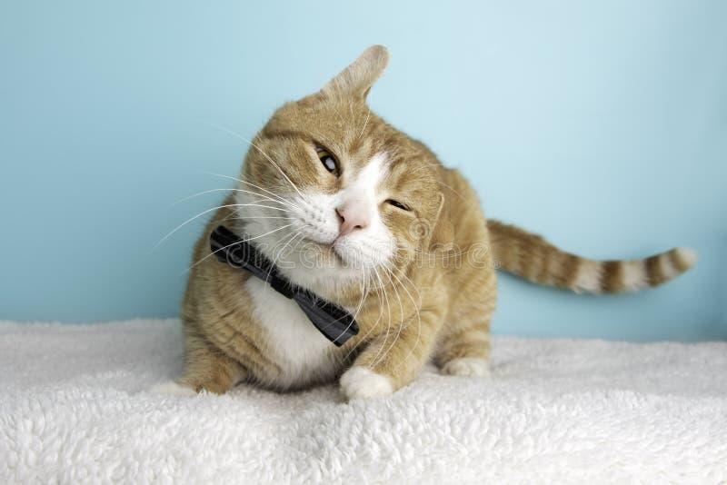 Orange Tabby Cat Portrait im Studio und im Tragen einer Fliege stockbild