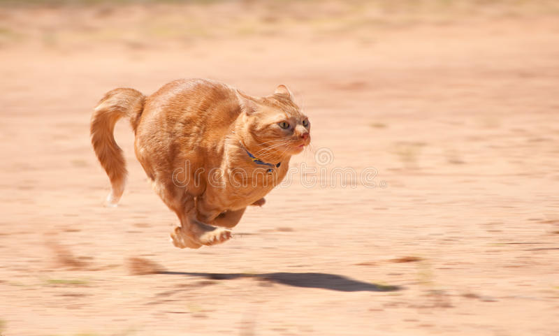 Orange tabby cat running full speed. Across red sand
