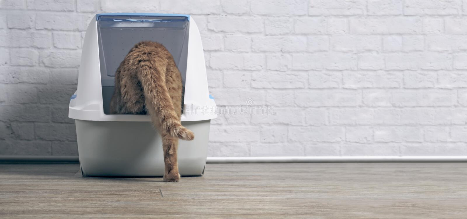 Orange tabby cat step inside a litter box. Panoramic image with copy space stock images