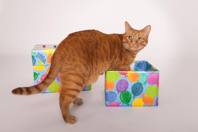 Orange tabby cat stepping into a box wrapped in Birthday themed paper stock images