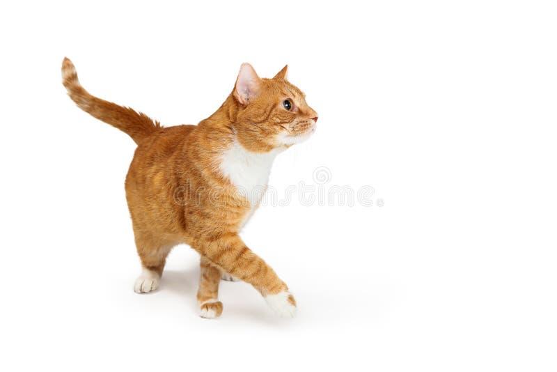 Orange Tabby Cat Walking, zum mit Seiten zu versehen Paw Extended lizenzfreie stockfotos